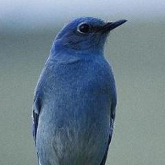 blue.bird.fan